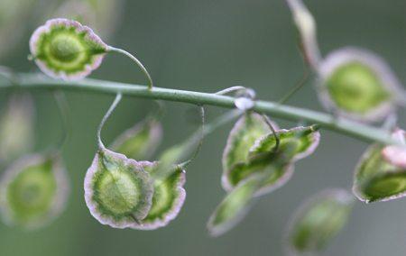 Thysanocarpus-curvipes-seeds
