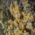 Atriplex lentiformis flower