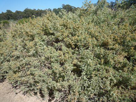Atriplex lentiformis plant