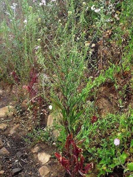 Caulanthus lasiophyllus plant