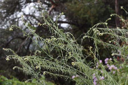 Caulanthus lasiophyllus plants