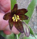 Fritillaria biflora flower