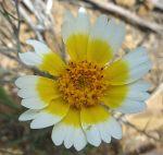 Layia platyglossa flower