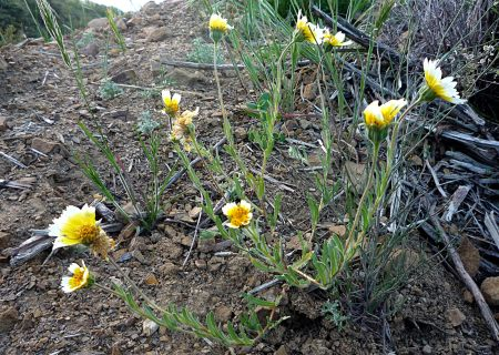 Layia platyglossa plant