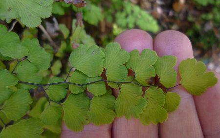 Adiantum capillus-veneris fern