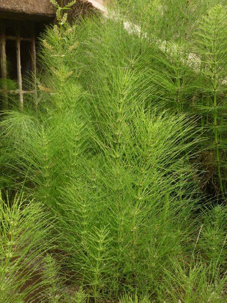 Equisetum telmateia plants