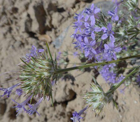 Eriastrum densifolium flowers