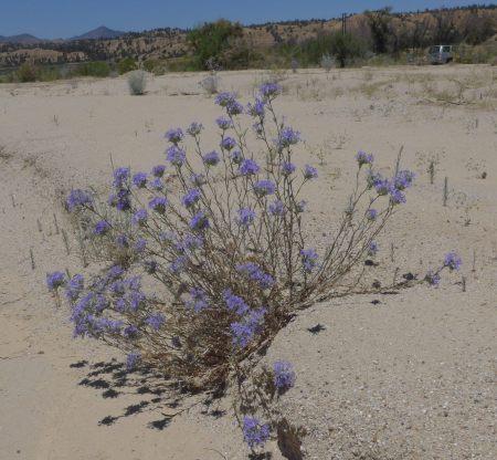 Eriastrum densifolium plant