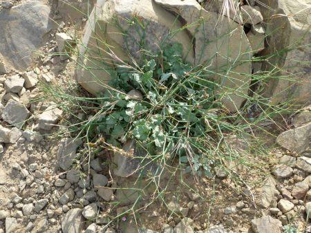 Eriogonum baileyi plant