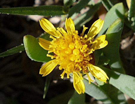 Jaumea carnosa flower