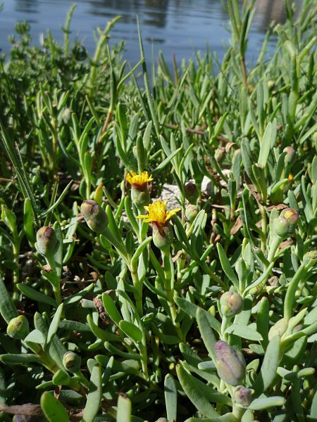 Jaumea carnosa plants