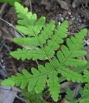 Pentagramma triangularis fern