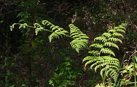 Pteridium aquilinum fern