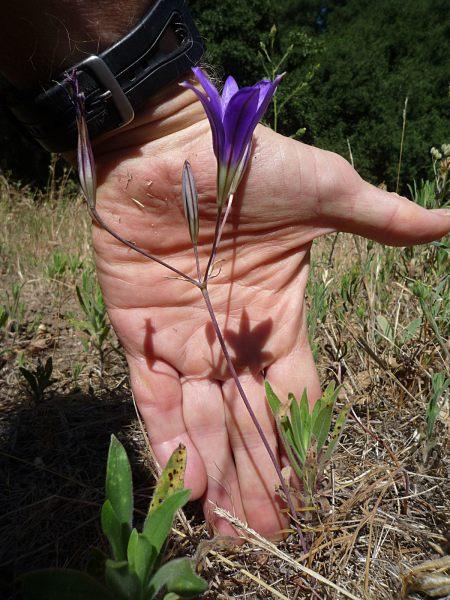 Brodiaea jolonensis plant