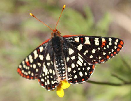 Euphydryas chalcedona golden yarrow