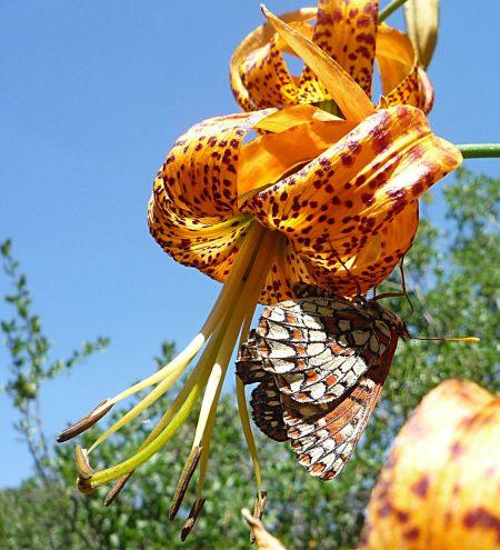 Euphydryas chalcedona lilies