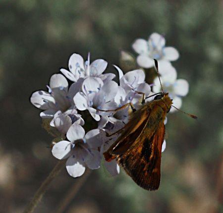 Hylephila phyleus on globe gilia