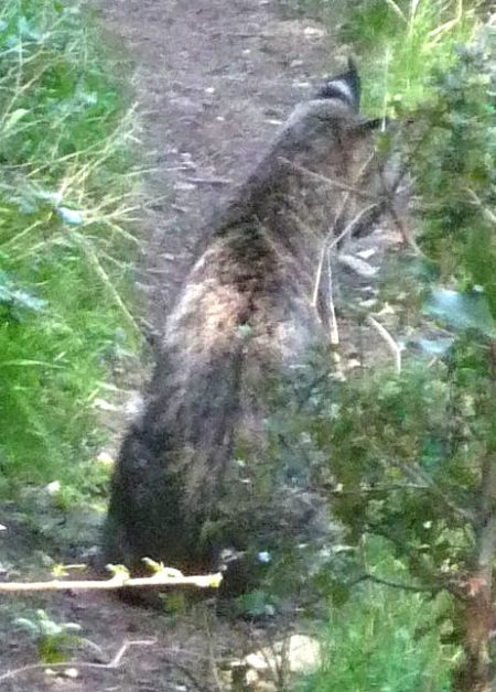 Lynx rufus closeup