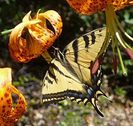 Papilio rutulus lilies