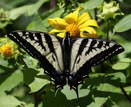 Papilio rutulus sunflower