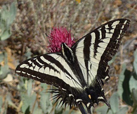 Papilio rutulus thistle