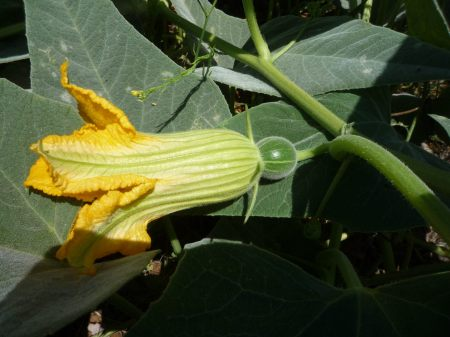 Cucurbita foetidissima flower