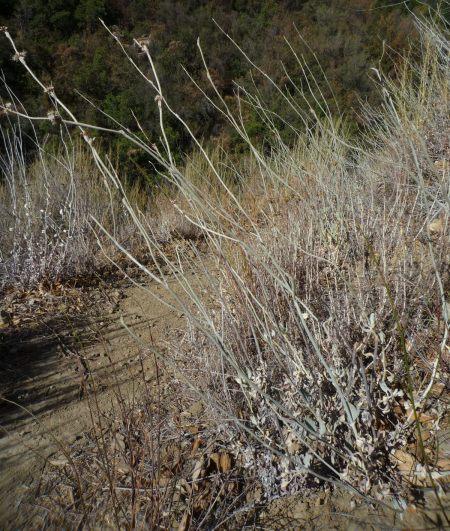 Eriogonum elongatum plant blooms