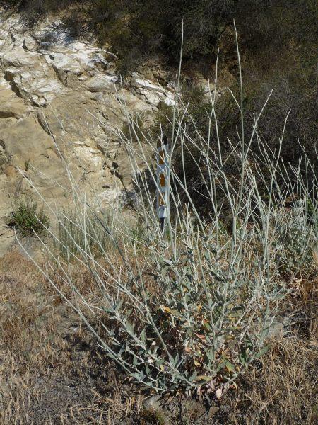 Eriogonum elongatum plant no blooms