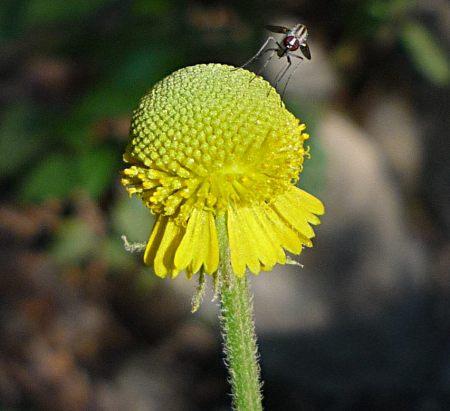 Helenium puberulum flower mosquito