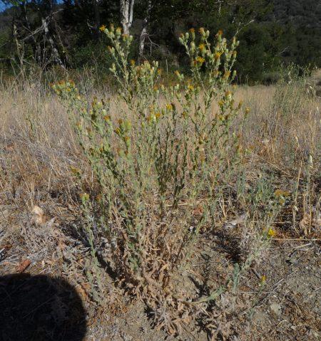 Heterotheca sessiliflora plant