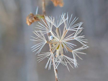 Stephanomeria exigua seed