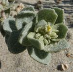 Atriplex leucophylla flower