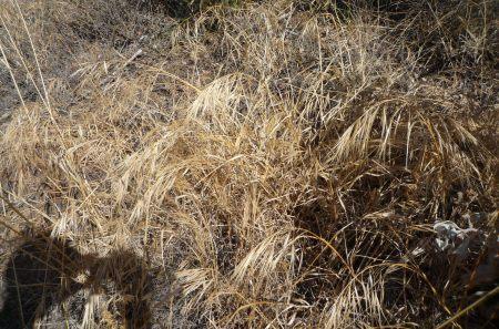 Bromus diandrus plants