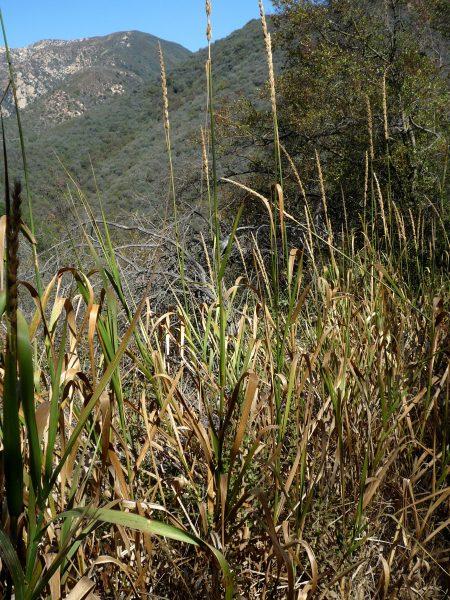 Elymus condensatus plants