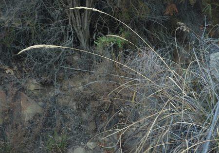 Elymus glaucus plant