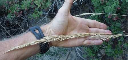 Elymus glaucus seeds