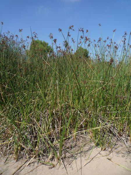Juncus textilis plants