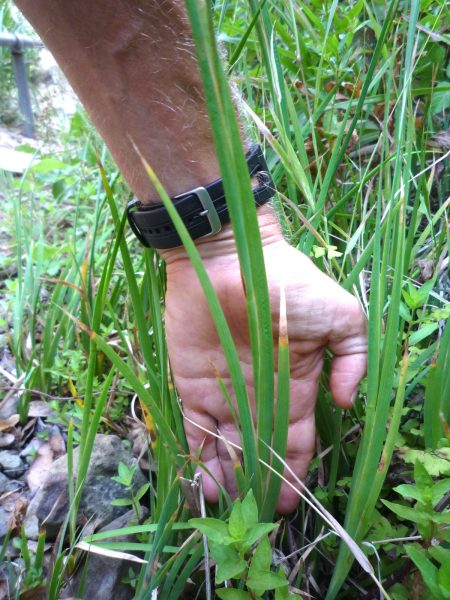 Juncus xiphioides plant