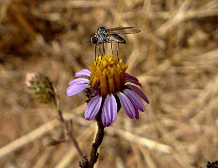Corethrogyne filaginifolia flower with mosquito