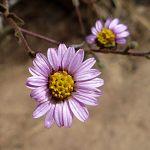 Corethrogyne filaginifolia flower