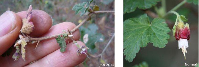 Dry Gooseberry