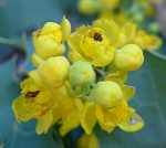 Berberis pinnata flowers
