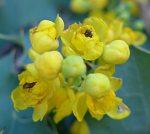 Berberis pinnata flowers
