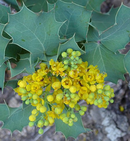 Berberis pinnata flowers + leaves
