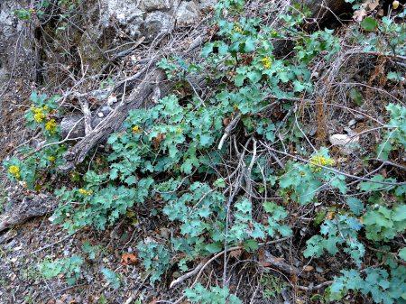 Berberis pinnata plants