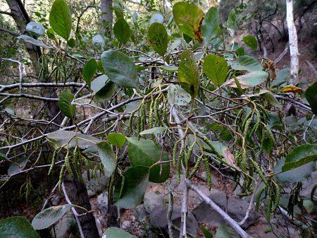 Alnus rhombifolia flowers