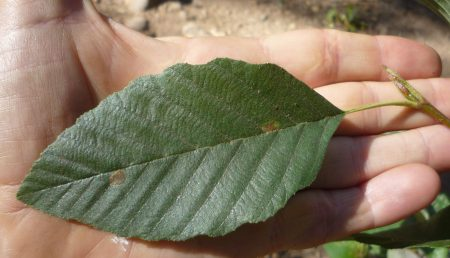 Alnus rhombifolia leaf