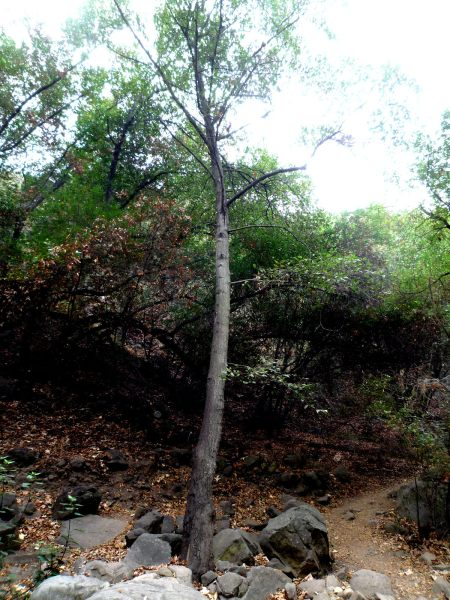 Alnus rhombifolia tree