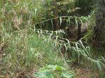 Arundo donax leaves