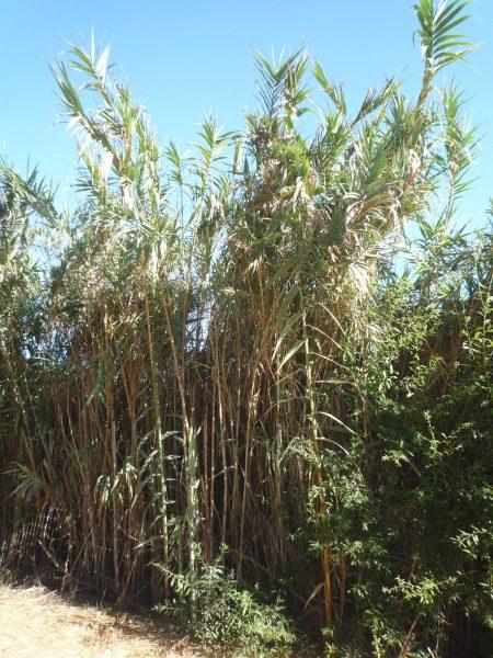 Arundo donax plants